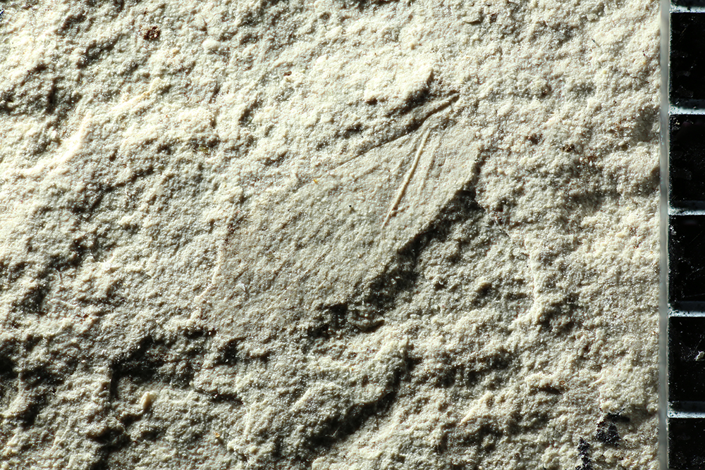 http://mczbase.mcz.harvard.edu/specimen_images/entomology/paleo/large/PALE-3300b_Delopterum_minutum.jpg