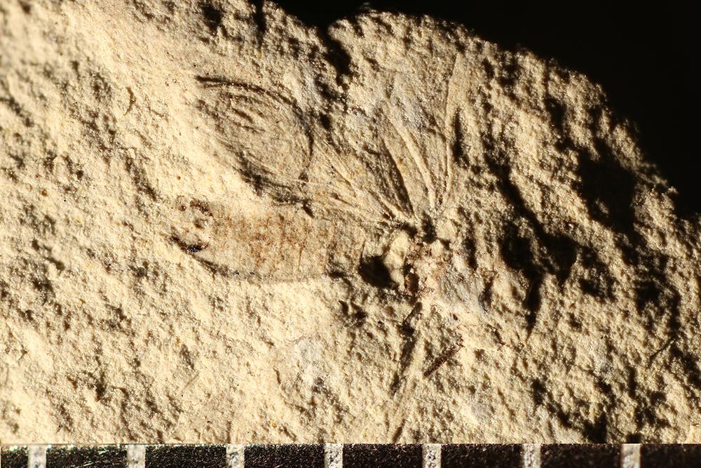 http://mczbase.mcz.harvard.edu/specimen_images/entomology/paleo/large/PALE-3323b_Dichentomum_tinctum.jpg