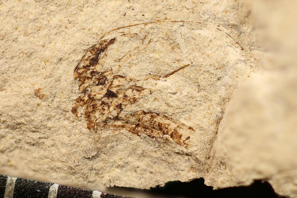 http://mczbase.mcz.harvard.edu/specimen_images/entomology/paleo/large/PALE-3348_Dichentomum_tinctum_1.jpg
