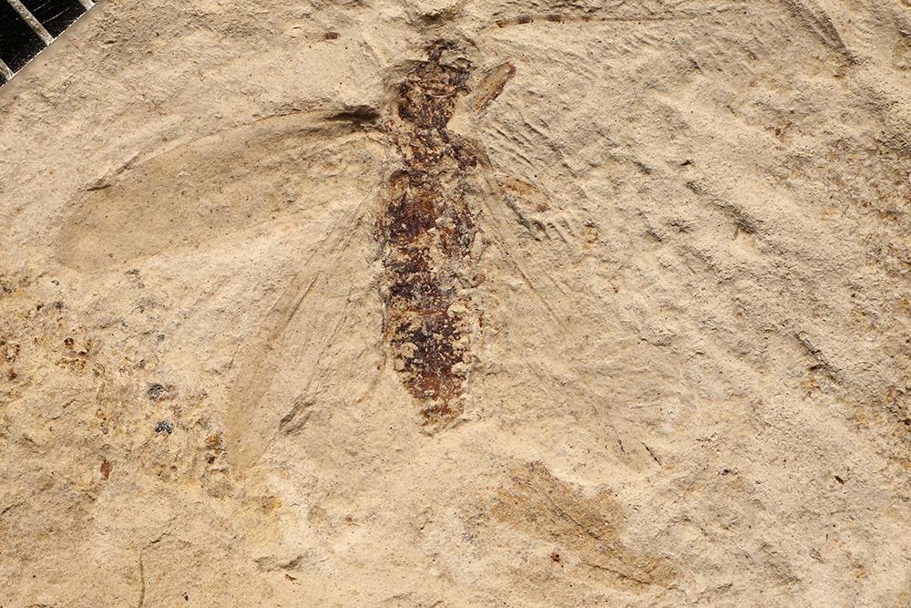 http://mczbase.mcz.harvard.edu/specimen_images/entomology/paleo/large/PALE-3376b_Parablattelytron_subincisum.jpg