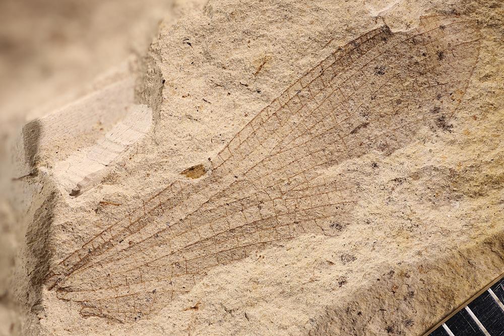 http://mczbase.mcz.harvard.edu/specimen_images/entomology/paleo/large/PALE-3396a_Protereisma_permianum.jpg