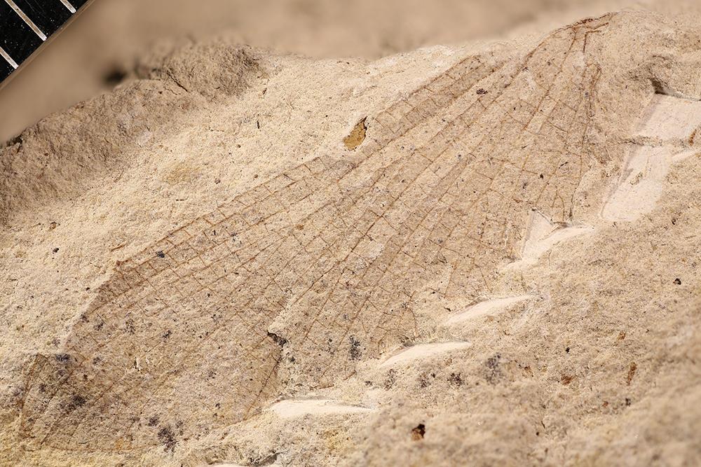 http://mczbase.mcz.harvard.edu/specimen_images/entomology/paleo/large/PALE-3396b_Protereisma_permianum.jpg