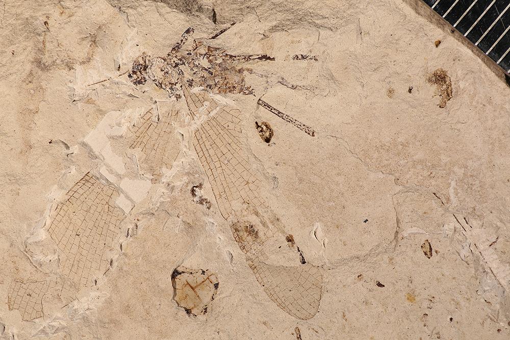 http://mczbase.mcz.harvard.edu/specimen_images/entomology/paleo/large/PALE-3404a_Protereisma_permianum.jpg