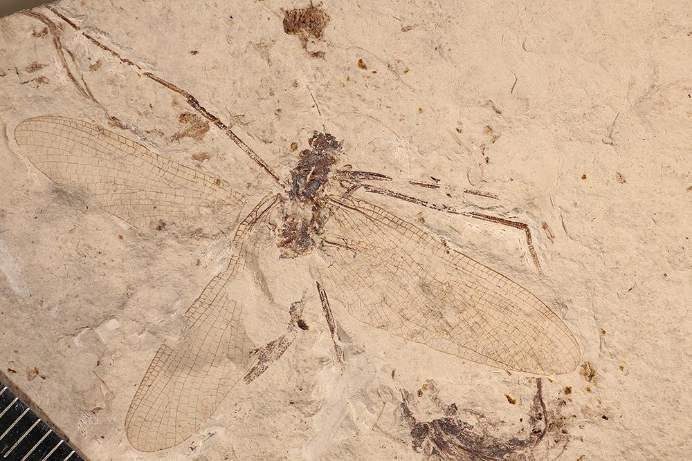 http://mczbase.mcz.harvard.edu/specimen_images/entomology/paleo/large/PALE-3405b_Protereisma_permianum_neotype.jpg