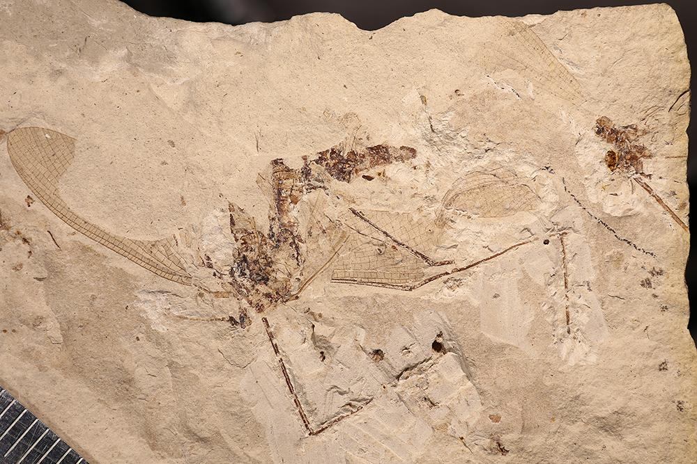 http://mczbase.mcz.harvard.edu/specimen_images/entomology/paleo/large/PALE-3414a_Protereisma_arcuatum.jpg