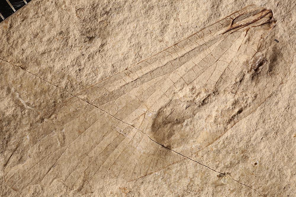 http://mczbase.mcz.harvard.edu/specimen_images/entomology/paleo/large/PALE-3419a_Protereisma_latum_neotype.jpg