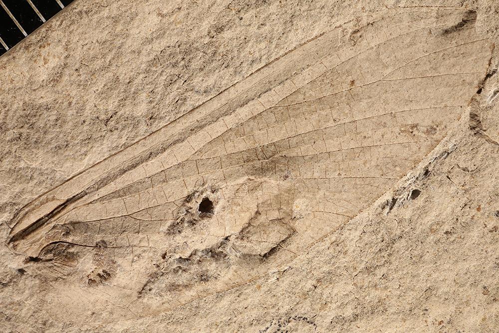 http://mczbase.mcz.harvard.edu/specimen_images/entomology/paleo/large/PALE-3419b_Protereisma_latum_neotype.jpg