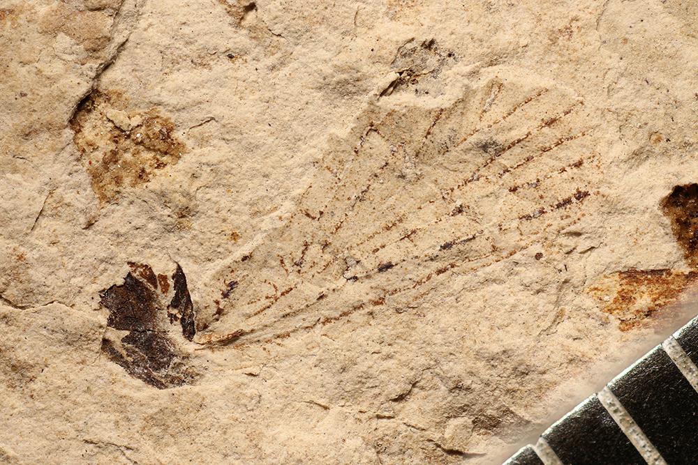 http://mczbase.mcz.harvard.edu/specimen_images/entomology/paleo/large/PALE-3529b_Lemmatophora_typa.jpg