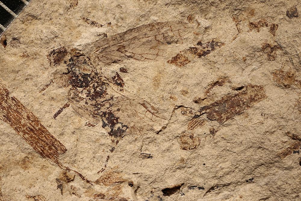 http://mczbase.mcz.harvard.edu/specimen_images/entomology/paleo/large/PALE-3533_Lemmatophora_typa.jpg