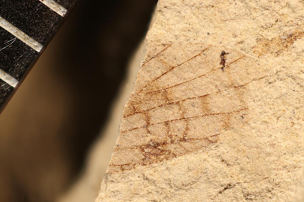 http://mczbase.mcz.harvard.edu/specimen_images/entomology/paleo/large/PALE-3534_Lemmatophora_typa.jpg