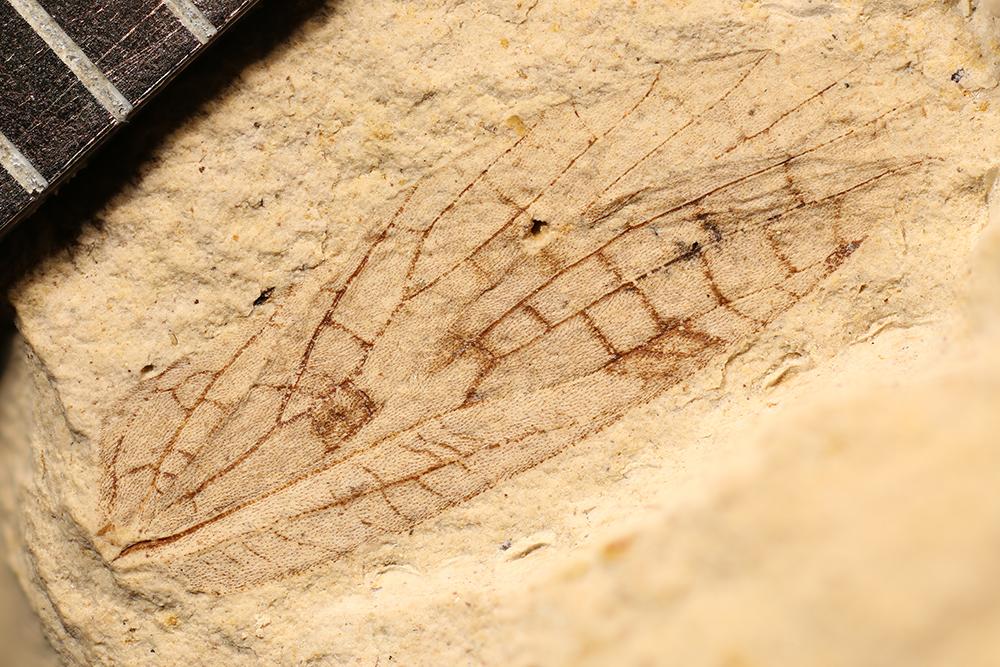 http://mczbase.mcz.harvard.edu/specimen_images/entomology/paleo/large/PALE-3535_Lemmatophora_typa.jpg