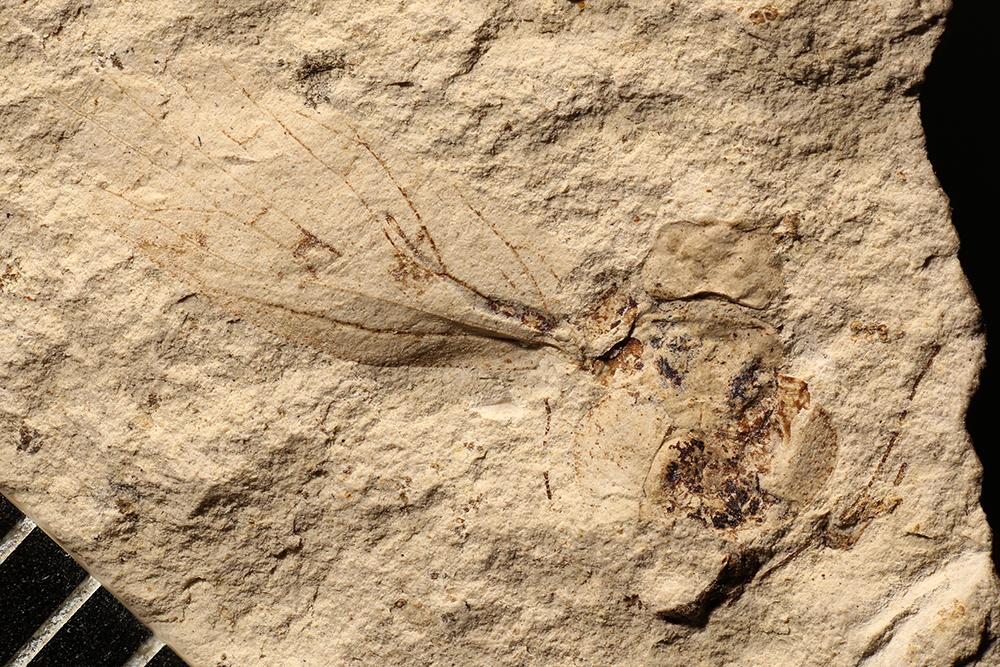 http://mczbase.mcz.harvard.edu/specimen_images/entomology/paleo/large/PALE-3543_Lemmatophora_typa.jpg