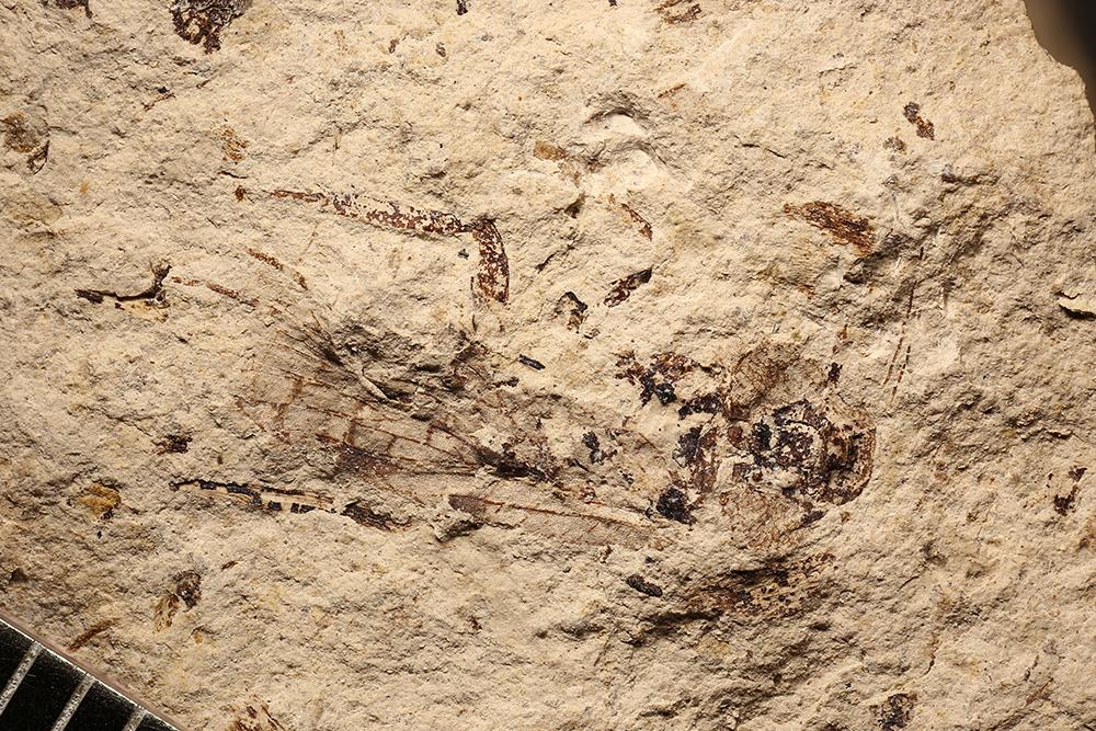 http://mczbase.mcz.harvard.edu/specimen_images/entomology/paleo/large/PALE-3546_Lemmatophora_typa.jpg