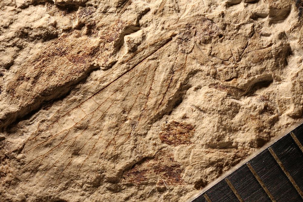 http://mczbase.mcz.harvard.edu/specimen_images/entomology/paleo/large/PALE-3598_Lecorium_sp.jpg
