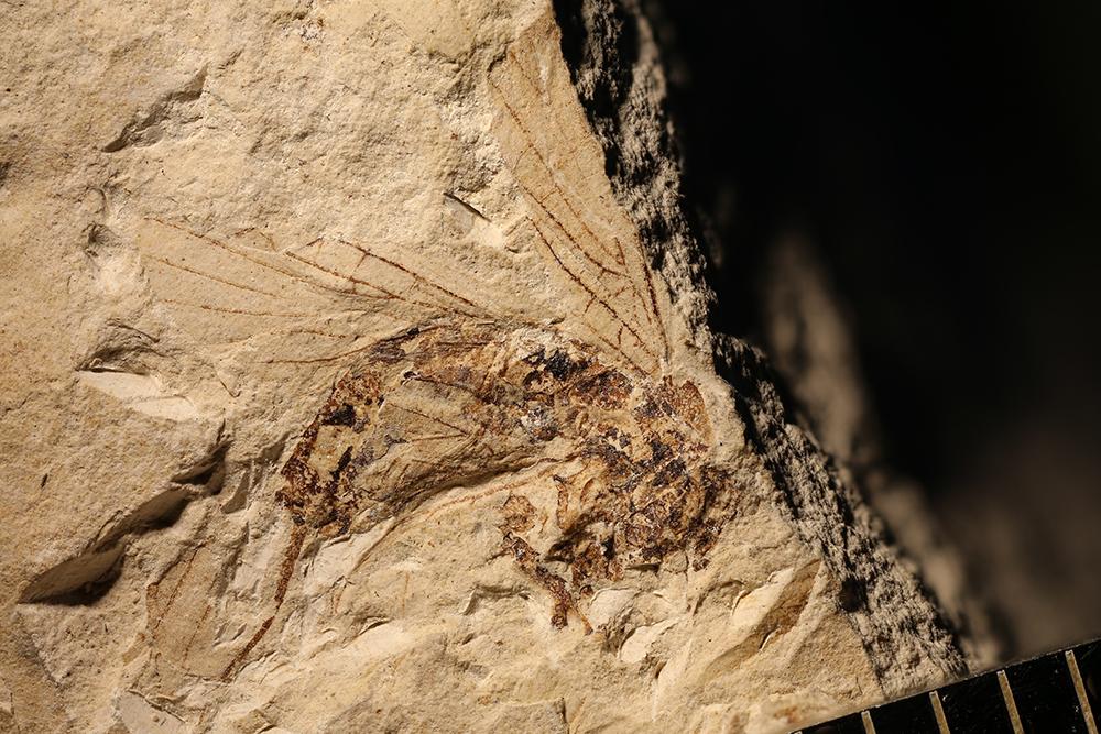 http://mczbase.mcz.harvard.edu/specimen_images/entomology/paleo/large/PALE-3607_Lecorium_elongatum.jpg