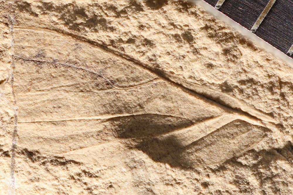 http://mczbase.mcz.harvard.edu/specimen_images/entomology/paleo/large/PALE-3845b_Asthenohymen_pusillus.jpg