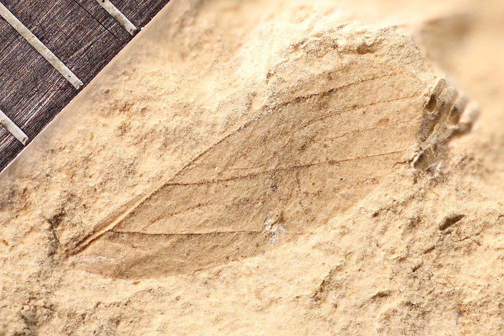 http://mczbase.mcz.harvard.edu/specimen_images/entomology/paleo/large/PALE-3858_Asthenohymen_pusillus.jpg