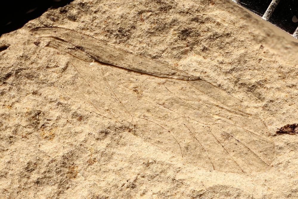 http://mczbase.mcz.harvard.edu/specimen_images/entomology/paleo/large/PALE-3880a_Archescytina_permiana.jpg