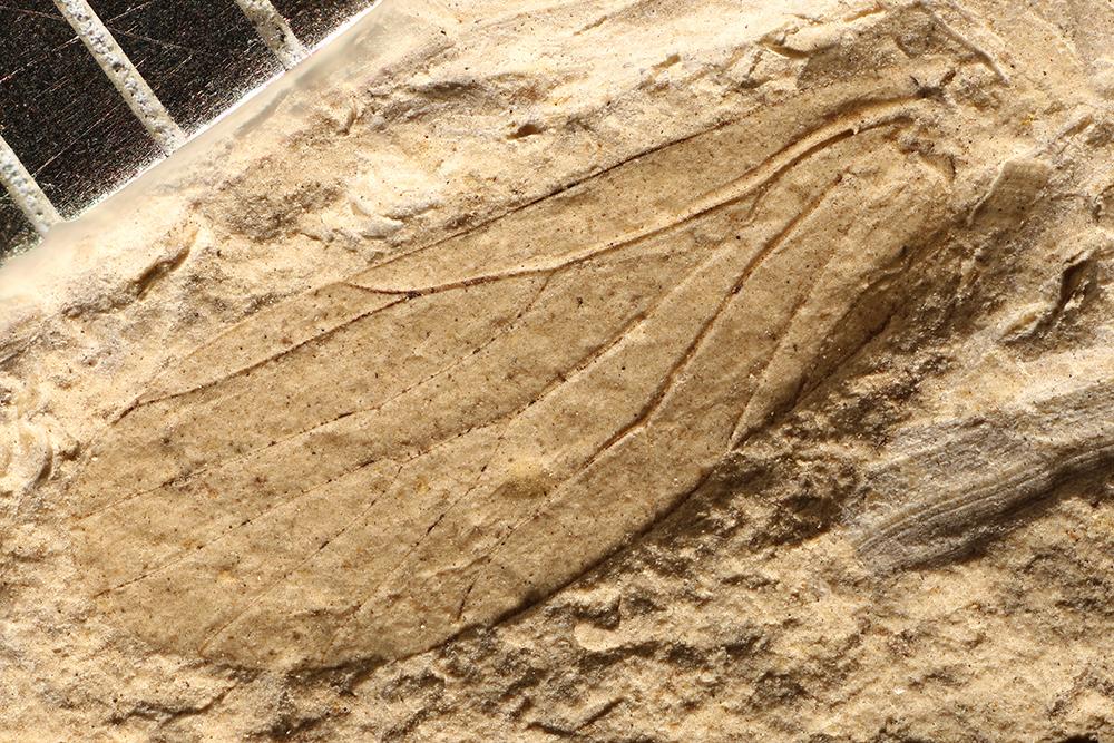 http://mczbase.mcz.harvard.edu/specimen_images/entomology/paleo/large/PALE-3882_Archescytina_permiana.jpg