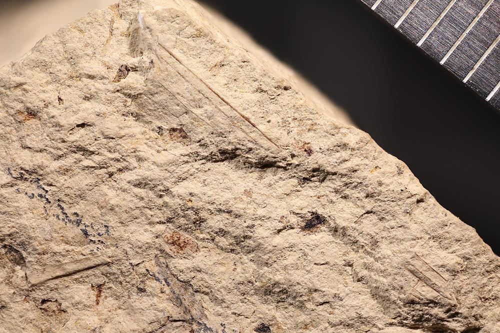 http://mczbase.mcz.harvard.edu/specimen_images/entomology/paleo/large/PALE-3970b_Kennedya_tillyardi_holotype.jpg