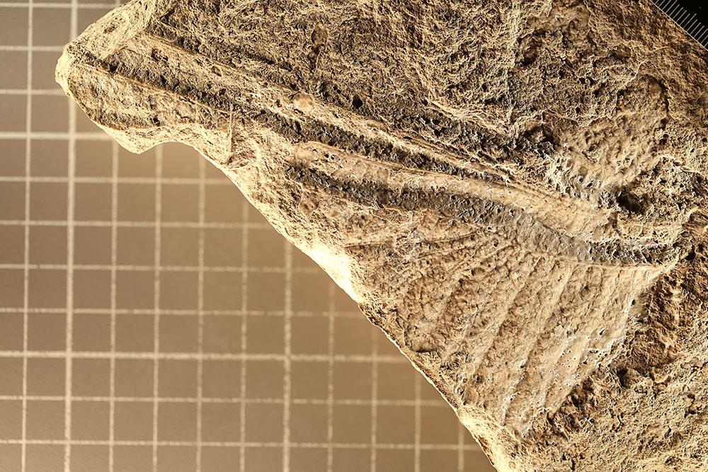 http://mczbase.mcz.harvard.edu/specimen_images/entomology/paleo/large/PALE-4340_Meganeuropsis_permiana_holotype.jpg