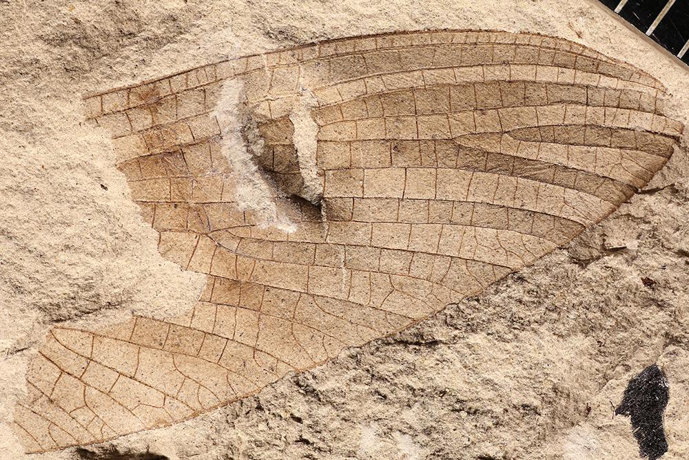 http://mczbase.mcz.harvard.edu/specimen_images/entomology/paleo/large/PALE-4381a_Protereisma_insigne.jpg