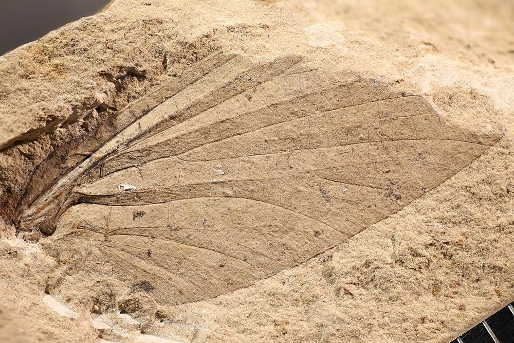 http://mczbase.mcz.harvard.edu/specimen_images/entomology/paleo/large/PALE-4382a_Protereisma_insigne.jpg