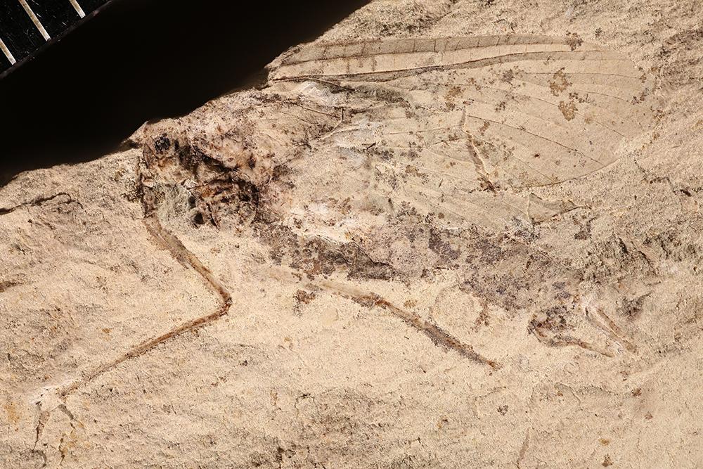 http://mczbase.mcz.harvard.edu/specimen_images/entomology/paleo/large/PALE-4387b_Misthodotes_obtusus.jpg