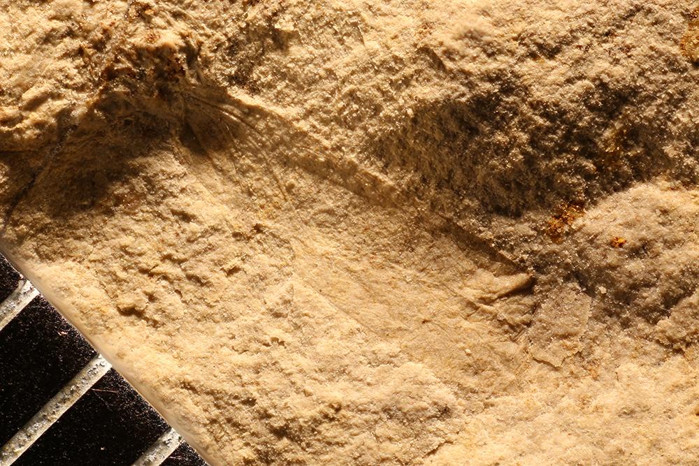 http://mczbase.mcz.harvard.edu/specimen_images/entomology/paleo/large/PALE-4429_Psocoptera.jpg