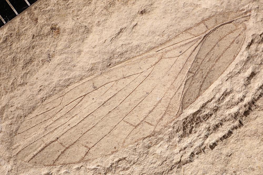 http://mczbase.mcz.harvard.edu/specimen_images/entomology/paleo/large/PALE-4600a_Martynovia_protohymenoides.jpg