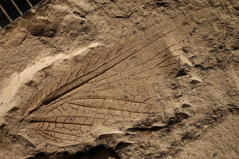 http://mczbase.mcz.harvard.edu/specimen_images/entomology/paleo/large/PALE-4933_Liomopterum_sellardsi.jpg