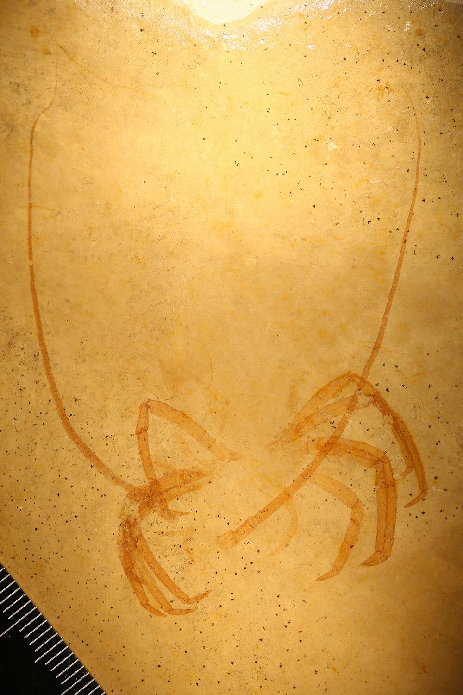http://mczbase.mcz.harvard.edu/specimen_images/entomology/paleo/large/PALE-5979_Arthropoda.jpg