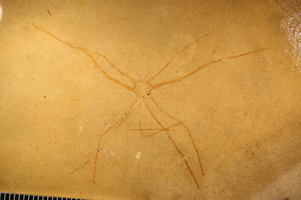 http://mczbase.mcz.harvard.edu/specimen_images/entomology/paleo/large/PALE-5983_Arthropoda.jpg