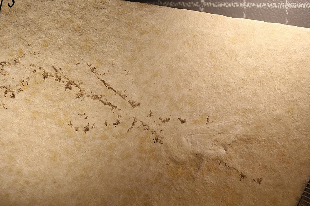 http://mczbase.mcz.harvard.edu/specimen_images/entomology/paleo/large/PALE-6075_Orthoptera.jpg