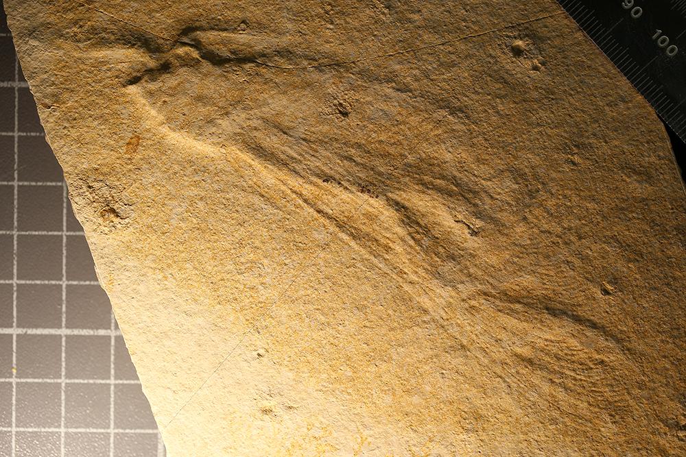 http://mczbase.mcz.harvard.edu/specimen_images/entomology/paleo/large/PALE-6085_Isophlebia_aspasia.jpg