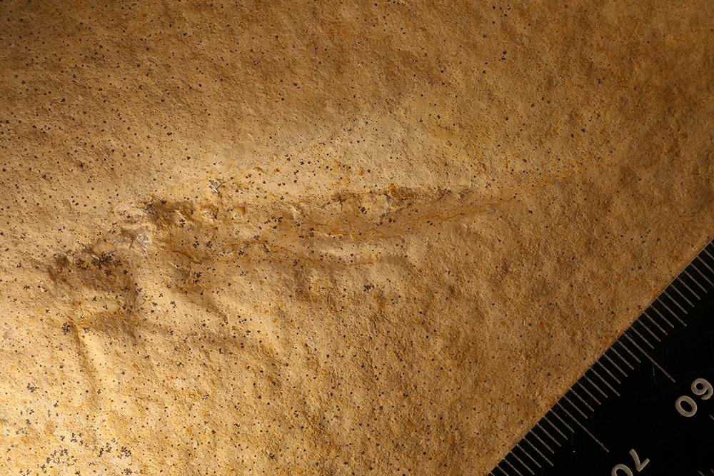 http://mczbase.mcz.harvard.edu/specimen_images/entomology/paleo/large/PALE-6090_Orthoptera.jpg