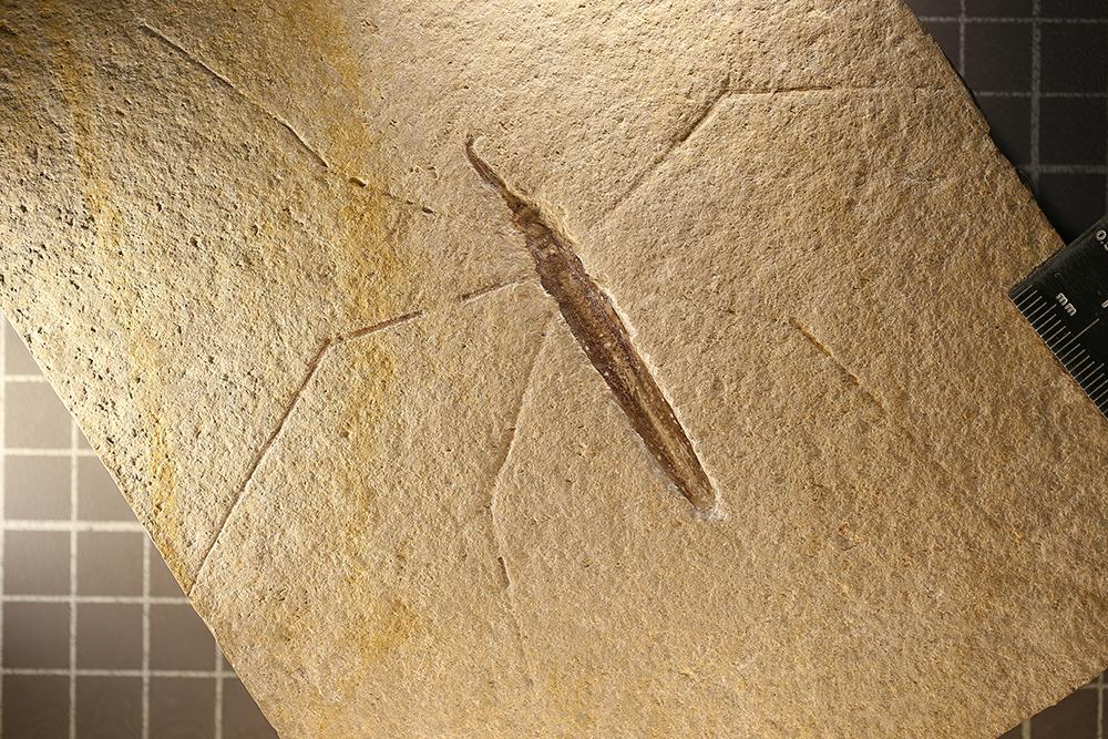 http://mczbase.mcz.harvard.edu/specimen_images/entomology/paleo/large/PALE-6095_Chresmoda_obscura.jpg