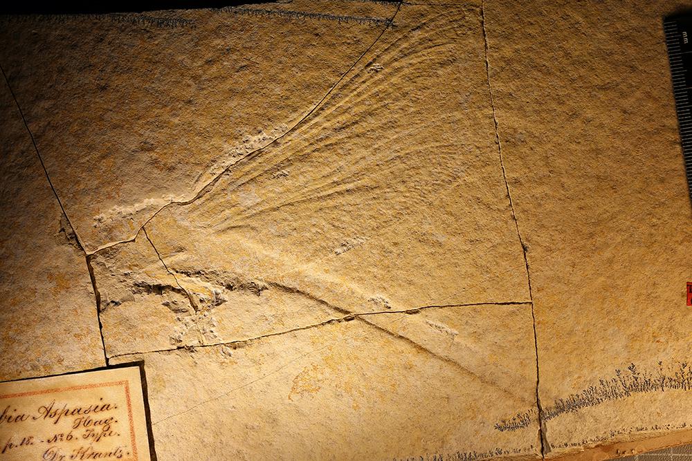 http://mczbase.mcz.harvard.edu/specimen_images/entomology/paleo/large/PALE-6186_Isophlebia_aspasia_type.jpg