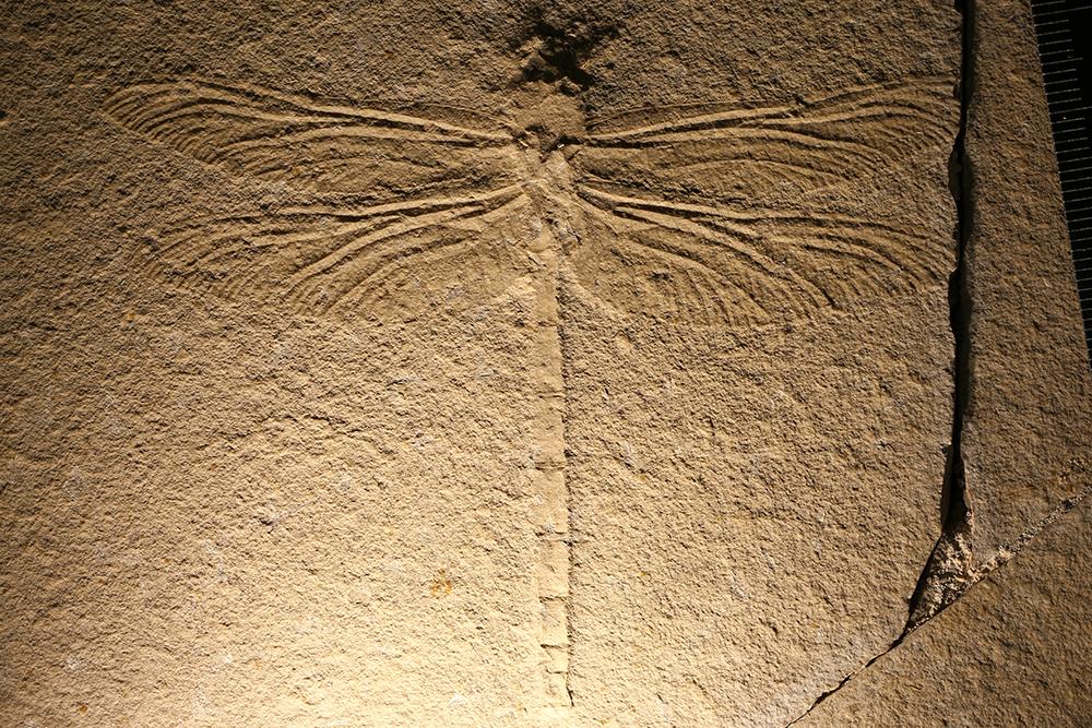 http://mczbase.mcz.harvard.edu/specimen_images/entomology/paleo/large/PALE-6196_Protolindenia_wittei.jpg
