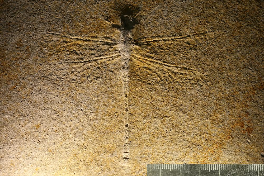 http://mczbase.mcz.harvard.edu/specimen_images/entomology/paleo/large/PALE-6204_Protolindenia_wittei.jpg