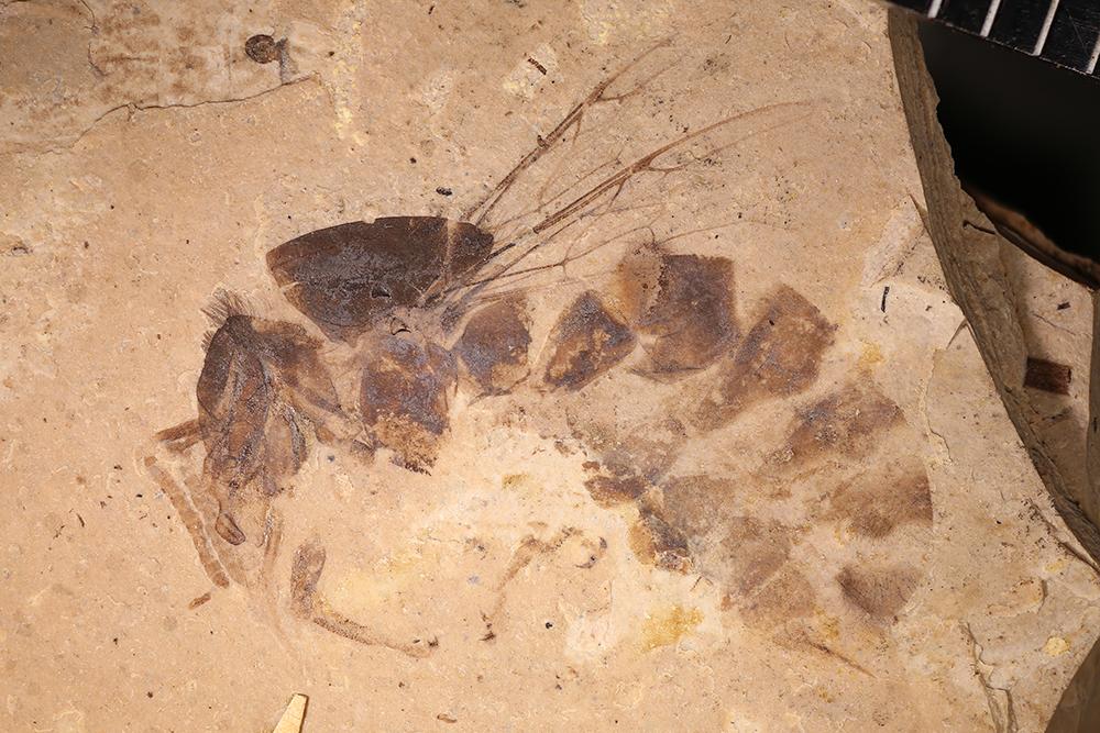 http://mczbase.mcz.harvard.edu/specimen_images/entomology/paleo/large/PALE-6316a_Apis_henshawi_holotype_1.jpg