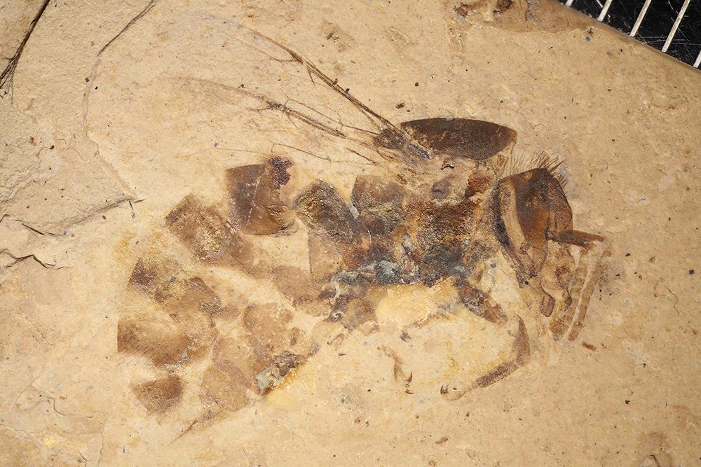 http://mczbase.mcz.harvard.edu/specimen_images/entomology/paleo/large/PALE-6316b_Apis_henshawi_holotype_1.jpg