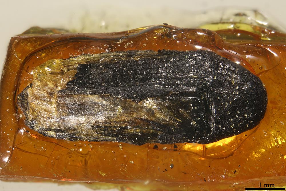 http://mczbase.mcz.harvard.edu/specimen_images/entomology/paleo/large/PALE-6394_Elateridae_qm.jpg