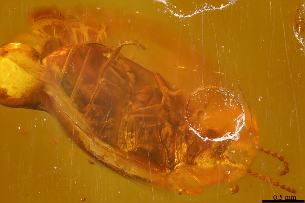 http://mczbase.mcz.harvard.edu/specimen_images/entomology/paleo/large/PALE-6661_Coleoptera.jpg