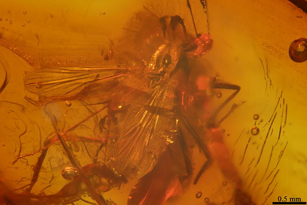 http://mczbase.mcz.harvard.edu/specimen_images/entomology/paleo/large/PALE-6829_Chironomidae.jpg
