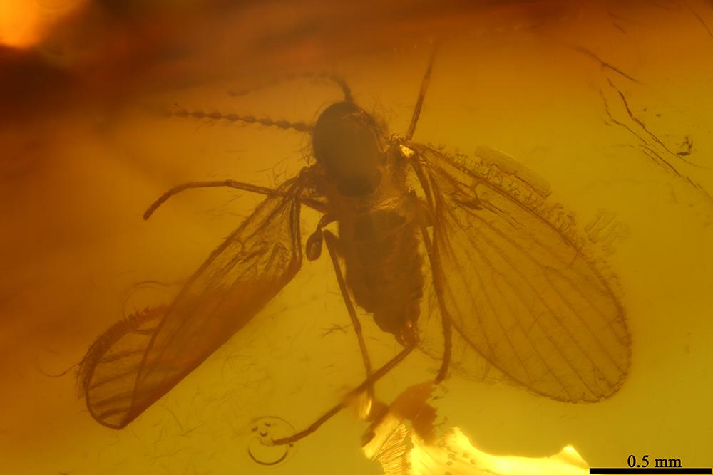 http://mczbase.mcz.harvard.edu/specimen_images/entomology/paleo/large/PALE-6873_Psychodidae.jpg
