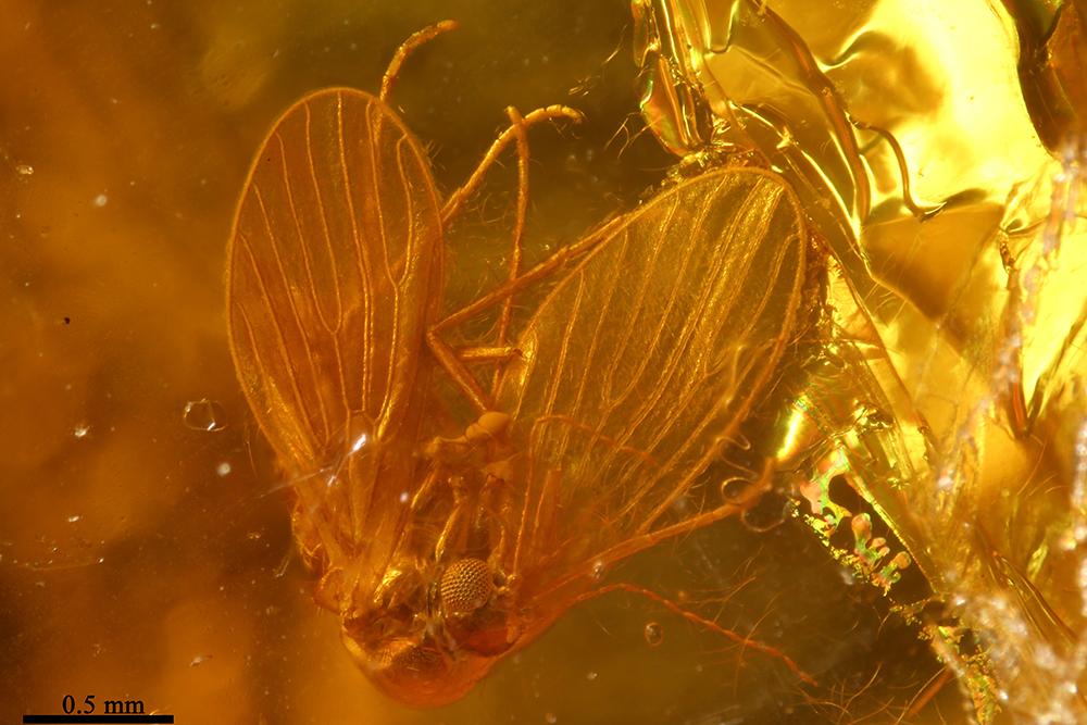 http://mczbase.mcz.harvard.edu/specimen_images/entomology/paleo/large/PALE-6876_Psychodidae.jpg