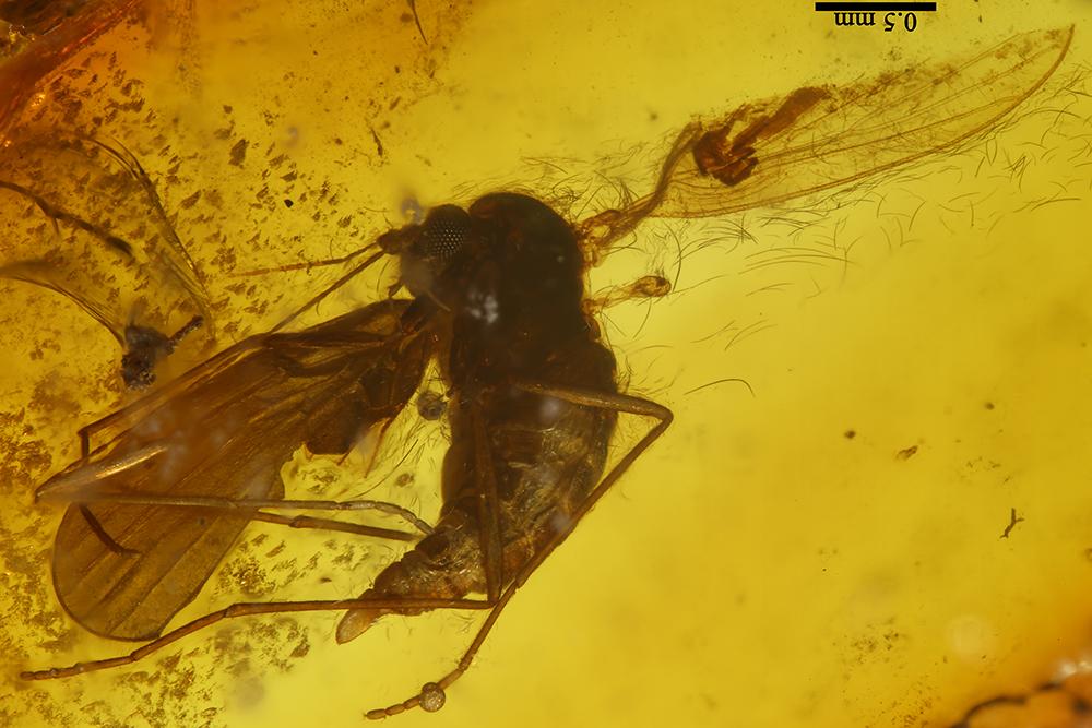 http://mczbase.mcz.harvard.edu/specimen_images/entomology/paleo/large/PALE-6887_Psychodidae.jpg