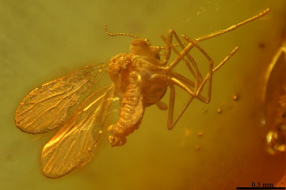 http://mczbase.mcz.harvard.edu/specimen_images/entomology/paleo/large/PALE-6889_Psychodidae.jpg