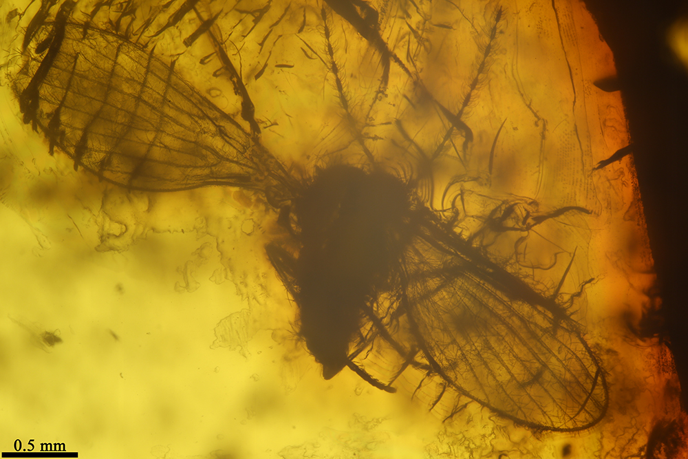 http://mczbase.mcz.harvard.edu/specimen_images/entomology/paleo/large/PALE-6892_Psychodidae.jpg